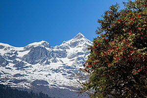 Rhododendron (Rhododendron thomsonii) flowers in front of snow covered mountains, Sikkim, India.  -  Felis Images