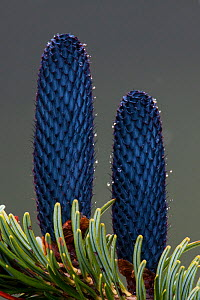 Cones of East Himalayan fir (Abies spectabilis) Sikkim, India.  -  Felis Images