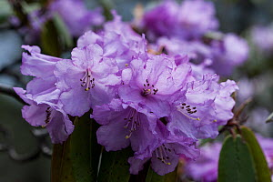 Rhododendron (Rhododendron wallichii) flowers, Sikkim, India. - Felis Images