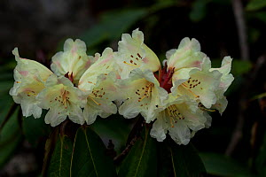 Rhododendron flowers (Rhodendron sp) flowers, Sikkim, India.  -  Felis Images