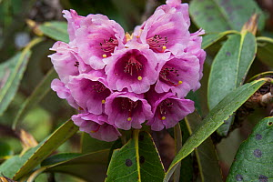 Rhododendron (Rhododendron hodgsonii) flowers, Sikkim, India.  -  Felis Images