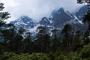 Conifer forests in Shingba Rhododendron Sanctuary, Sikkim, India.  -  Felis Images