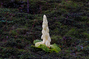 Noble rhubarb (Rheum nobile) plant, Sikkim, India.  -  Felis Images