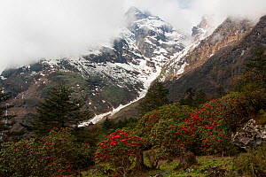 Rhododendrons in front of mountains, Singalila National Park, West Bengal, India. May 2008.  -  Felis Images