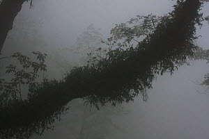 Tree branch covered in epiphytes silhouetted in the mist, Lava, Bhutan. - Felis Images