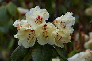 Rhododendron flowers (Rhododendron sp.) Bhutan. - Felis Images