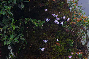Peacock orchids (Pleione hookeriana) on tree trunk, West Bengal, India  -  Felis Images
