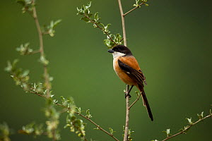 Long-tailed shrike (Lanius schach) perched on branch, India.  -  Felis Images