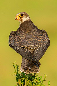 Amur falcon (Falco amurensis) perched on tree, rear view, Kerala, India.  -  Felis Images