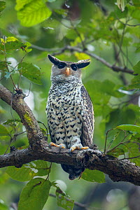 Spot-bellied eagle owl (Bubo nipalensis) perched on branch,  Jim Corbett National Park, Uttarakhand, India.  -  Felis Images