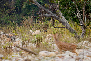 Tiger (Panthera tigris) in tall grass with Chital / Spotted deer (Axis axis) on the lookout, Jim Corbett National Park, Uttarakhand, India. - Felis Images