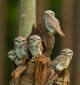 Spotted owlets (Athene brama) group of juveniles, Tamil Nadu, India. - Felis Images