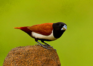 Tricoloured munia / Black-headed munia (Lonchura malacca) perched on a rock, Bangalore, Karnataka, India. - Felis Images