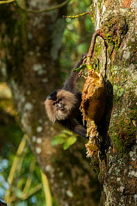 Lion-tailed Macaque (Macaca silenus) on a tree by open jackfruit, Valparai, Tamil Nadu, India.  -  Felis Images