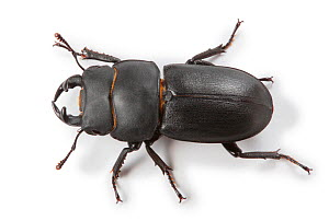 Lesser Stag Beetle (Dorcus parallelipipedus). Surrey, England, UK, Controlled conditions - Kim Taylor