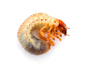 Cockchafer beetle (Melolontha melolontha) larva. Surrey, England, UK. Controlled conditions  -  Kim Taylor