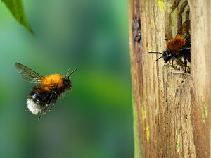 Tree bumblebee (Bombus hypnorum) worker approaching nest in bird box. Surrey, England, UK, May.  -  Kim Taylor
