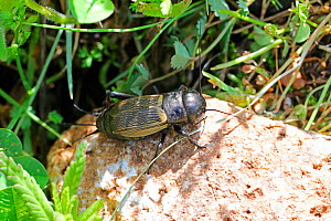 Field Cricket (Gryllus campestris) female. Apennines, Italy, May.  -  Kim Taylor
