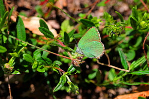 Green hairstreak butterfly (Callophrys rubi). Apennines, Italy, May.  -  Kim Taylor
