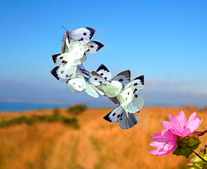 Large white butterfly (Pieris brassicae) taking off from a Mallow.  Surrey, England, Digital composite of sequence of nine images at 15 millisecond intervals.  -  Kim Taylor