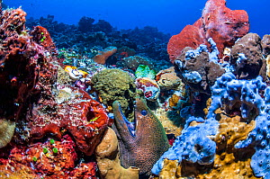 Giant moray eel (Gymnothorax javanicus).  Ambon, Indonesia.  -  Georgette Douwma