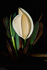 Cheese plant or Mexican bread plant.  (Monstera deliciosa).  flower. Native to Mexico and Central America. - Georgette Douwma