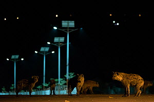 Spotted hyenas (Crocuta crocuta) in urban setting at night, Harar, Ethiopia - Luke Massey