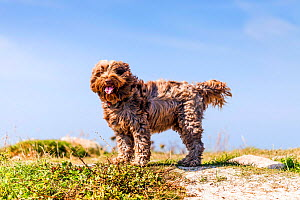 Domestic dog, mixed breed (Tibetan Terrier / Cocker Spaniel) by the sea in Brittany, France.  -  Merryn Thomas