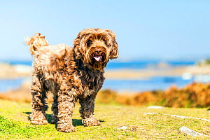 Domestic mixed breed (Tibetan Terrier / Cocker Spaniel) by the sea in Brittany, France..  -  Merryn Thomas