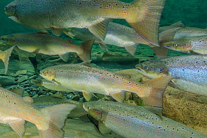 Atlantic salmon (Salmo salar) in river, Gaspe Peninsula, Quebec, Canada, October. - Nick Hawkins