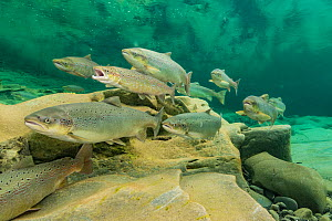 Atlantic salmon (Salmo salar) migration for spawning, in river, Gaspe Peninsula, Quebec, Canada, October. - Nick Hawkins