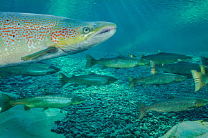 Atlantic salmon (Salmo salar) portrait, migrating to spawn in river, Gaspe Peninsula, Quebec, Canada, October. - Nick Hawkins