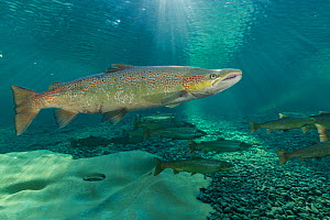 Atlantic salmon (Salmo salar) migrating to spawn in river, Gaspe Peninsula, Quebec, Canada, October. - Nick Hawkins