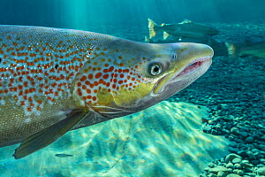 Atlantic salmon (Salmo salar) portrait, in river, Gaspe Peninsula, Quebec, Canada, October. - Nick Hawkins