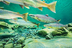 Atlantic salmon (Salmo salar) migrating for spawning in river, Gaspe Peninsula, Quebec, Canada, October.  -  Nick Hawkins