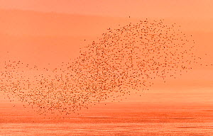 Semipalmated sandpipers (Calidris pusilla) flock in flight over water at sunset, Johnson's Mills, Bay of Fundy, New Brunswick, Canada, July. - Nick Hawkins