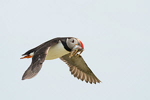 Atlantic puffin (Fratercula arctica) in flight returning to nest with fish prey, Machias Seal Island, Bay of Fundy, New Brunswick, Canada, July. - Nick Hawkins