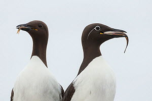 Two Common guillemots / murres (Uria aalge) with fish prey, the right one a Bridled guillemot morph with a white ring around the eye, Machias Seal Island, Bay of Fundy, New Brunswick, Canada, July.  -  Nick Hawkins