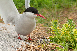 Arctic tern (Sterna paradisaea) stretching wings next to nest with two eggs in it, Machias Seal Island, Bay of Fundy, New Brunswick, Canada, May.  -  Nick Hawkins