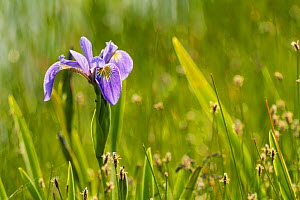 Blue flag iris (Iris versicolor) in flower, New Brunswick, Canada, June. - Nick Hawkins