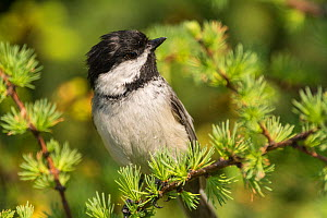 Black-capped chickadee (Poecile atricapillus) perched on twig, portrait, Anchorage Provincial Park, Grand Manan Island, New Brunswick, Canada, June. - Nick Hawkins