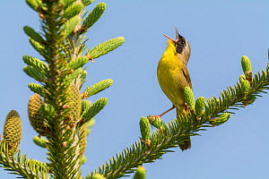 Common yellow throat (Geothlypis trichas) male, singing, Anchorage Provincial Park, Grand Manan Island, New Brunswick, Canada, June. - Nick Hawkins