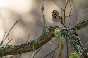 Song sparrow (Melospiza melodia) perching on branch, Anchorage Provincial Park, Grand Manan Island, New Brunswick, Canada, June. - Nick Hawkins