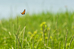 Monarch butterfly (Danaus plexippus) male, migrating North, Anchorage Provincial Park, Grand Manan Island, New Brunswick, Canada, June. - Nick Hawkins