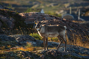Woodland caribou (Rangifer tarandus-caribou) with radio collat round neck, Fogo Island, Newfoundland, Canada, October, Endangered species.  -  Nick Hawkins