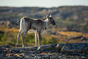 Woodland caribou (Rangifer tarandus caribou) with tracking collar round neck, Fogo Island, Newfoundland, Canada, October, Endangered species.  -  Nick Hawkins