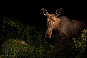 Moose (Alces alces) at night, photographed by a camera trap, New Brunswick, Canada, June. - Nick Hawkins