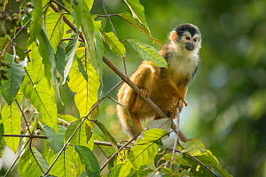 Black-crowned Central American squirrel monkey (Saimiri oerstedii) sitting on branch, Corcovado National Park, Osa Peninsula, Costa Rica, Vulnerable species.  -  Nick Hawkins