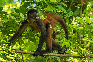 Geoffroy's spider monkey (Ateles geoffroyi) walking along branch, Corcovado National Park, Osa Peninsula, Costa Rica, Endangered species. Small repro only.  -  Nick Hawkins
