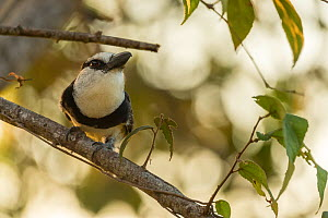 White-necked puffbird (Notharchus hyperrhynchus) perched on branch, Nicoya Peninsula, Costa Rica. January.  -  Nick Hawkins